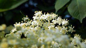La fleur de sureau