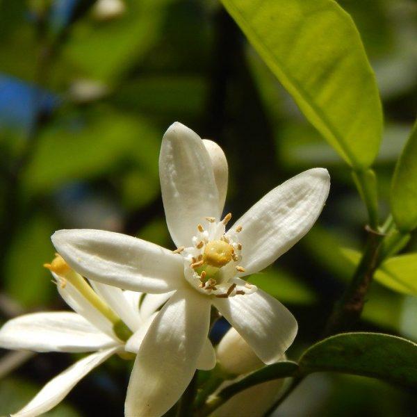 Hydrolat de fleur d'oranger bio